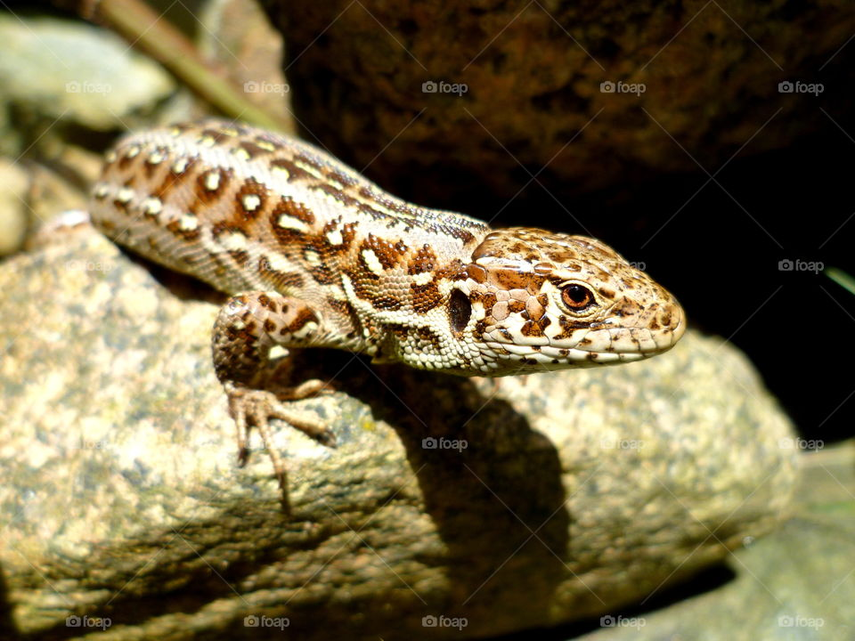 Sand lizard is sitting on the rock and has sunbathing