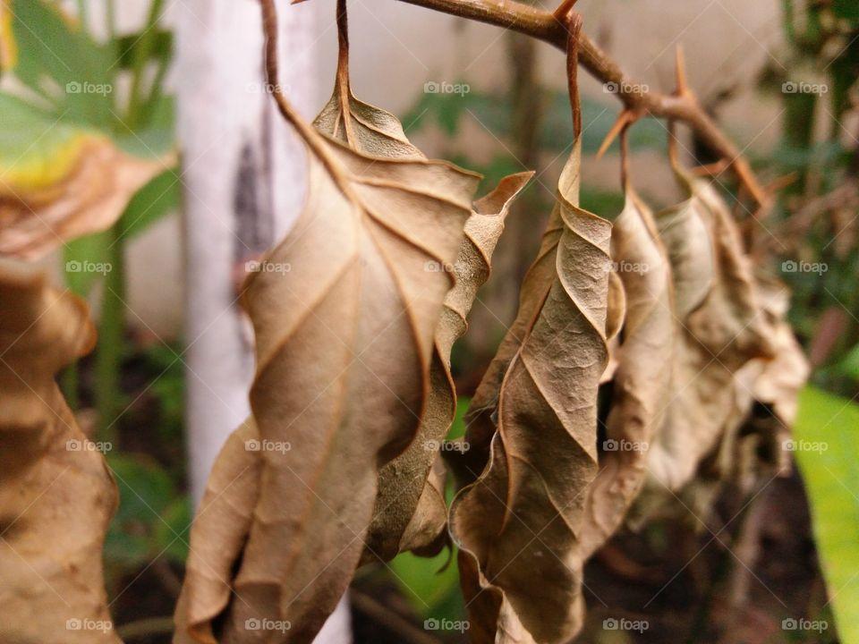 dryleef tree dry leaf 146@$