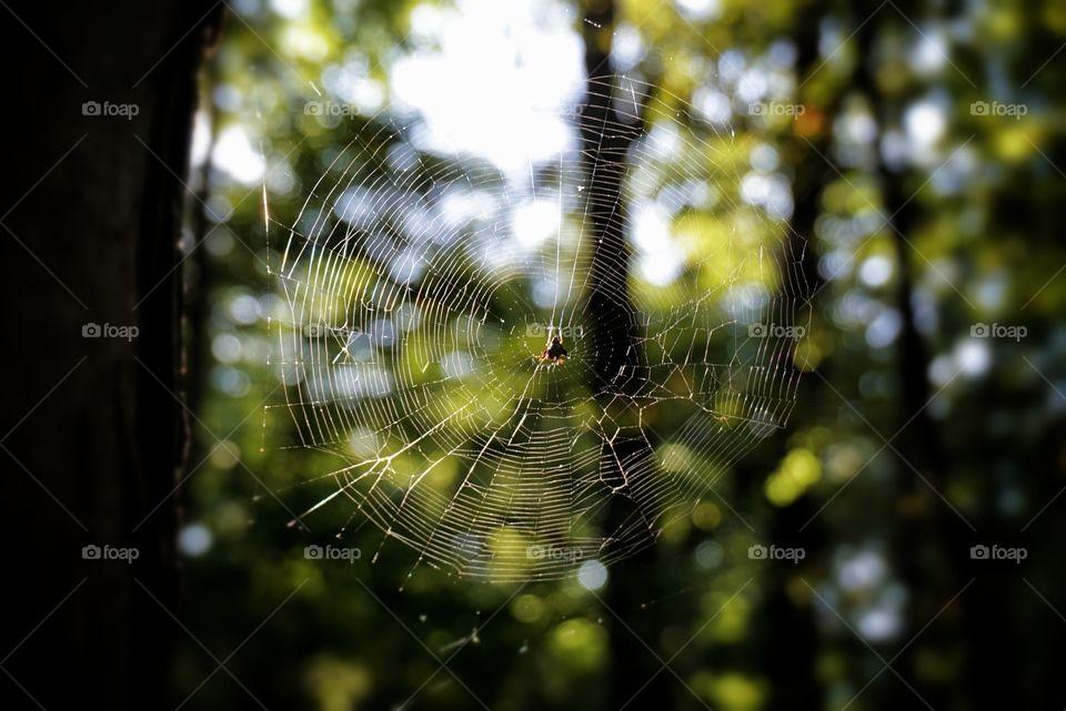 Spider in a Spider Web
