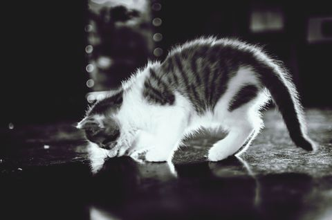 A kitten sniffing the floor while retaining her elegance