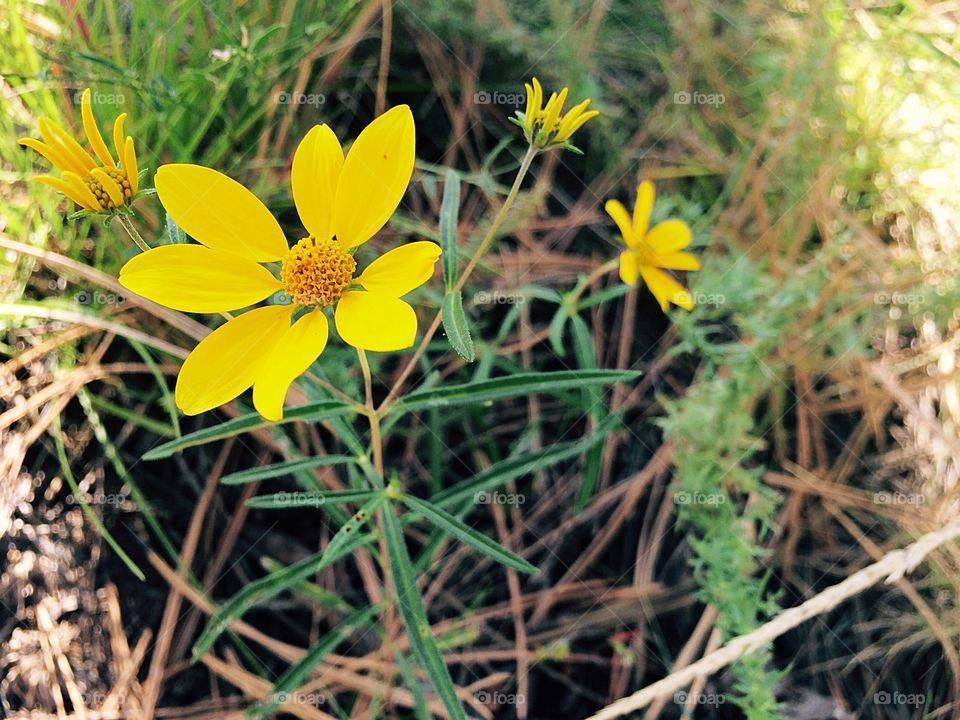 Blossom of yellow wild flowers