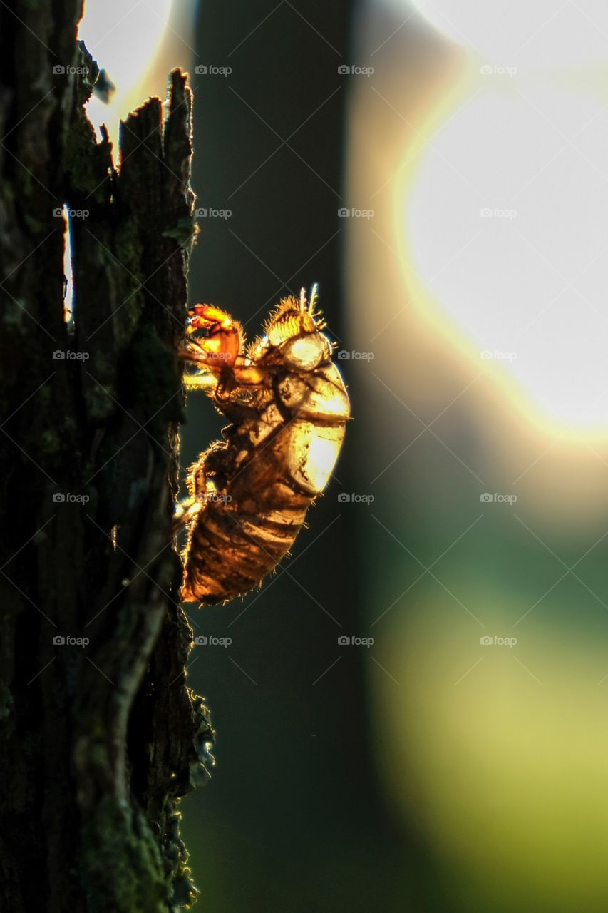 The exoskeleton, exuviae, or shell of a cicada or July fly on the bark of a pine tree in late summer in Raleigh North Carolina. Backlit by the early morning sunshine.