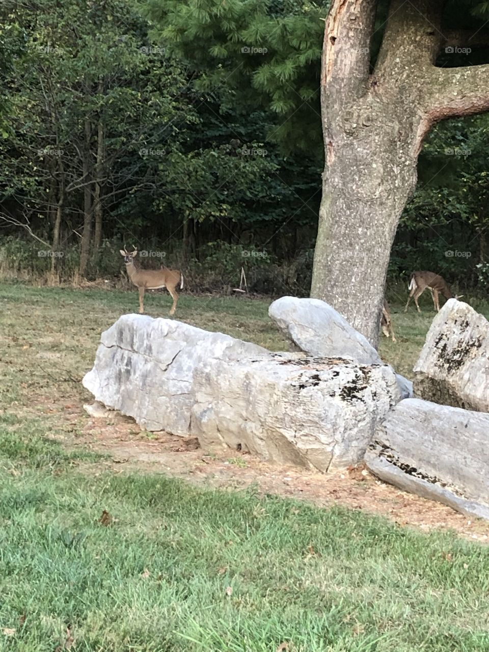 Small Herd of deer eating along wooded area