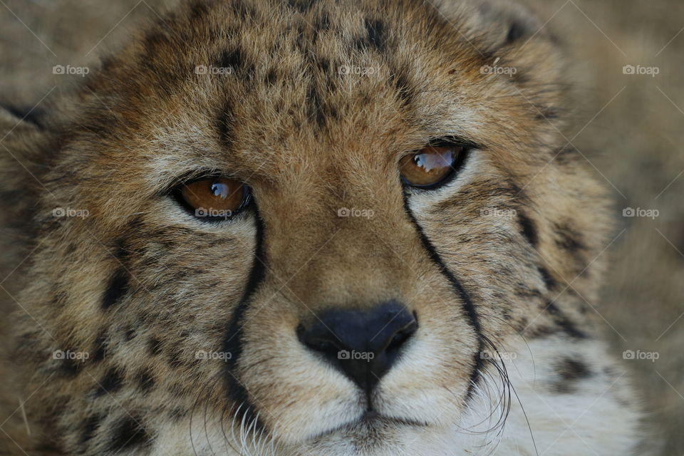 Detailed cheetah cub up close looking into the lens