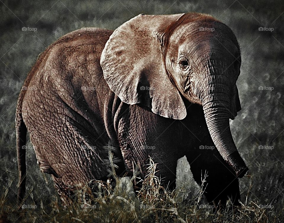 Elephant, Ivory, Trunk, Wildlife, Safari
