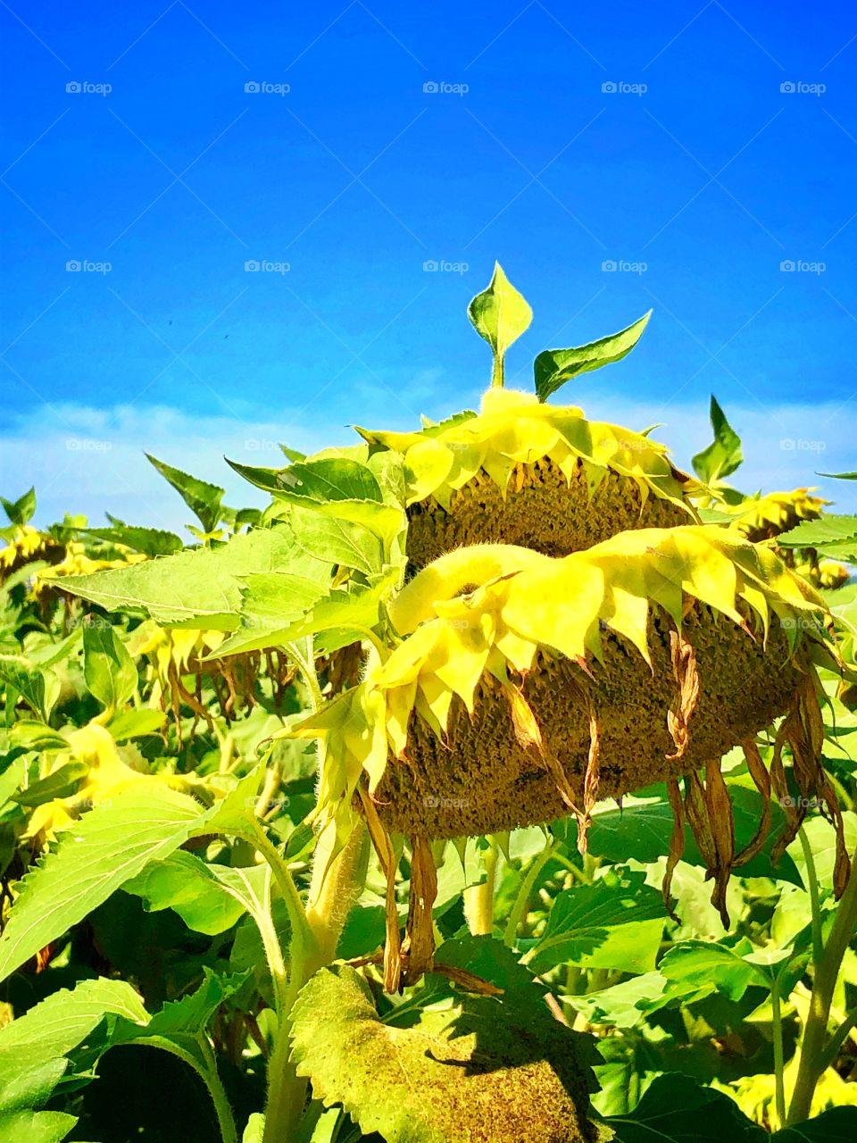 Drooping sunflowers crop at a local farm soon to be harvested blue sky September day