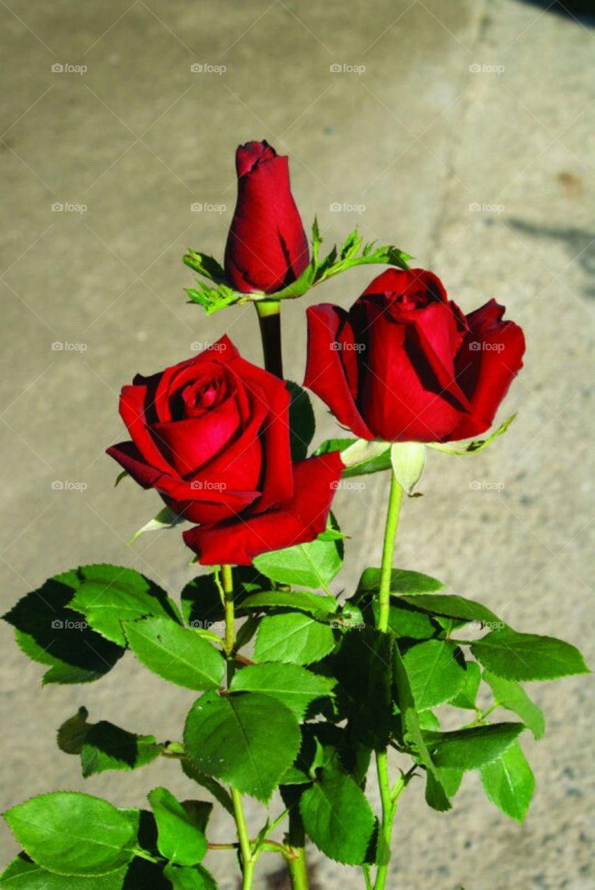 Rose the symbol of love