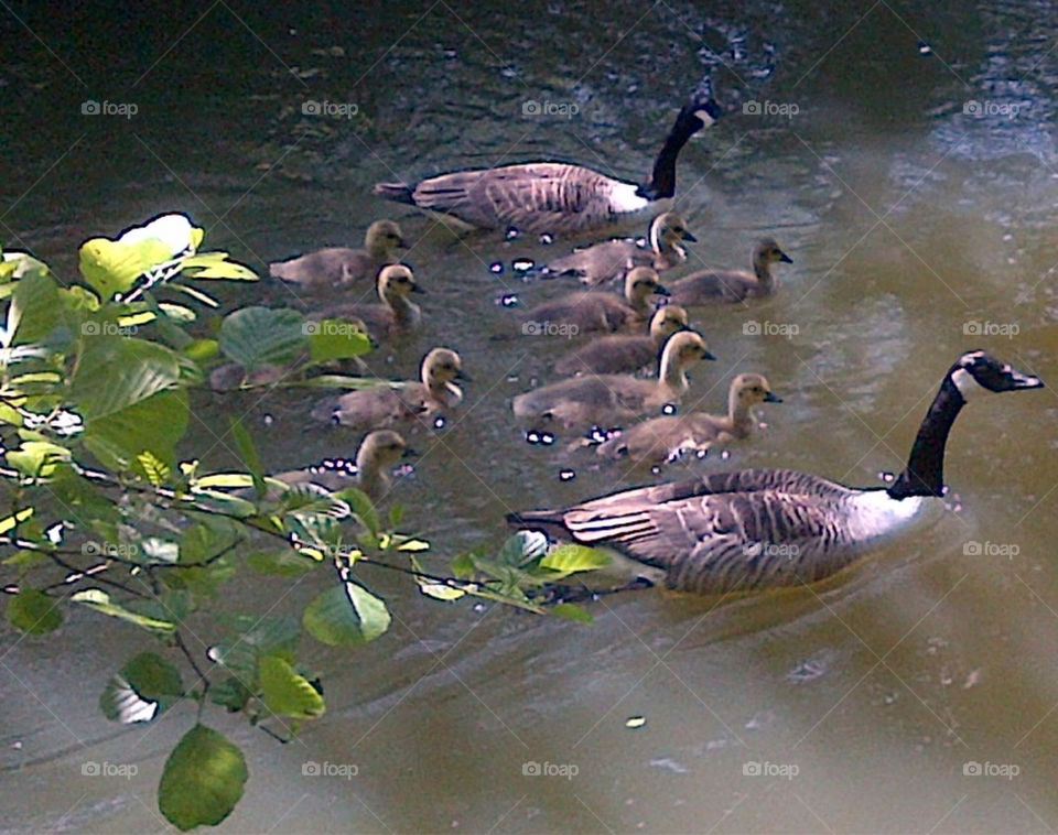 TWO GEESE AND THEIR ELEVEN GOSLINGS