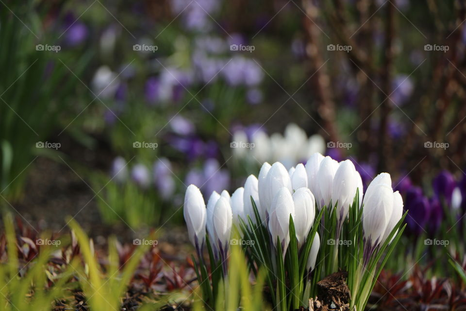 You know spring is nearing ....when first crocuses start appearing all around the neighborhood