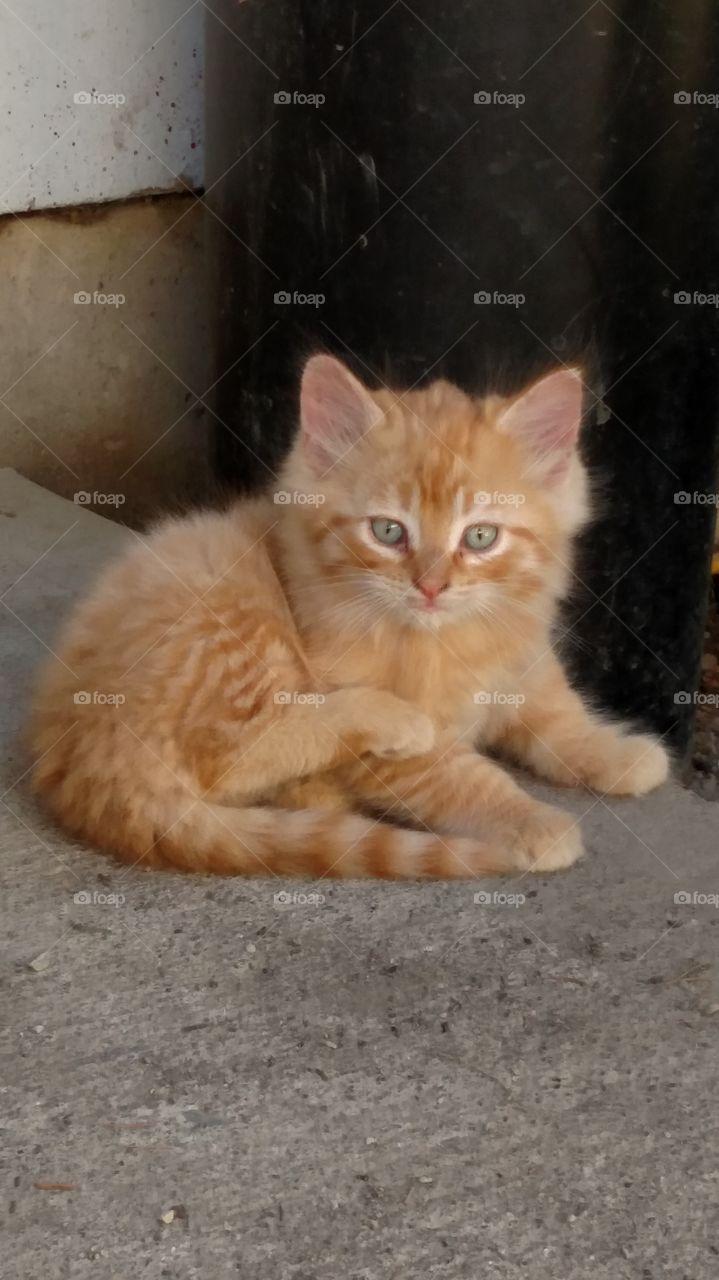 Cutie Patootie. Orange kitty's are Beautiful