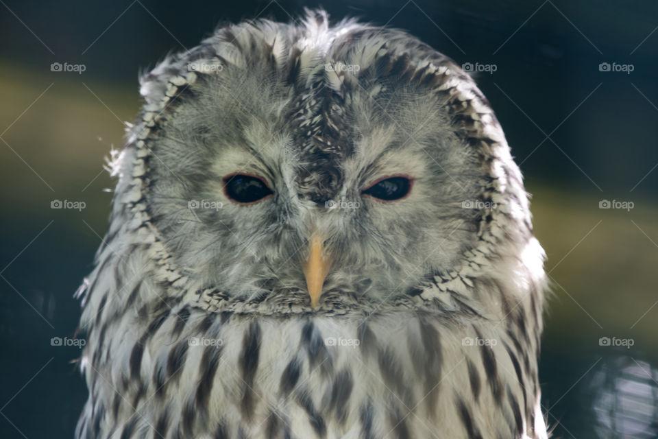 Portrait great grey owl - närbild uggla