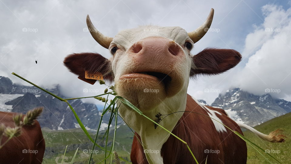 Cow enjoying life in the Alps by the Matterhorn - alpko njuter av livet i Matterhorn Alperna , Monte Cervino Italia