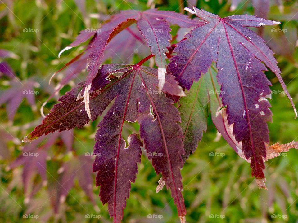 Purple leaves growing on a bush