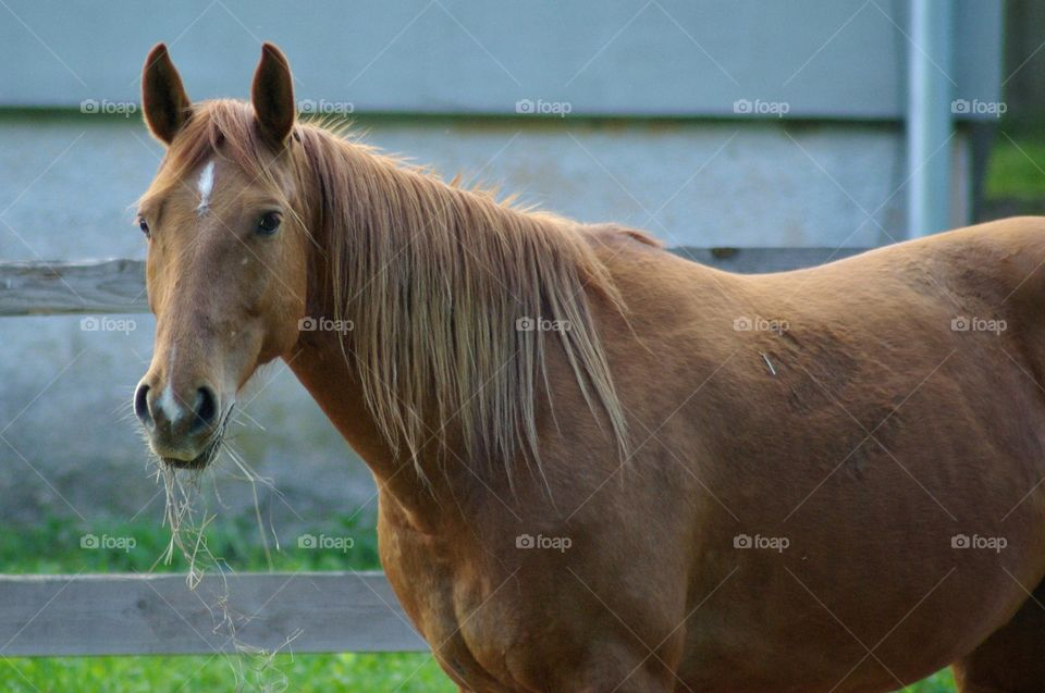 Healthy horse standing and eating dry grass