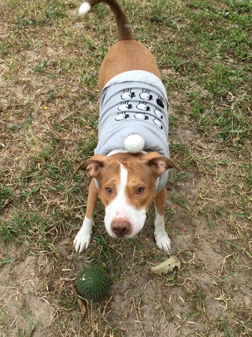Red nose pitbull wearing a sweater rescue field