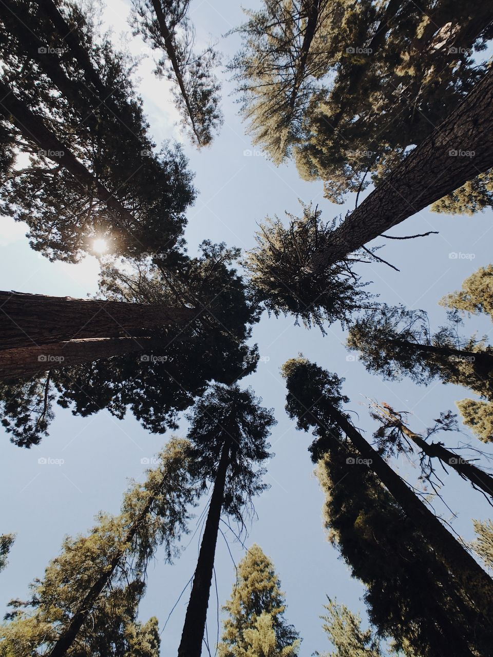 Looking up into the sky through the massive Sequoia trees in Sequoia National Park in California.