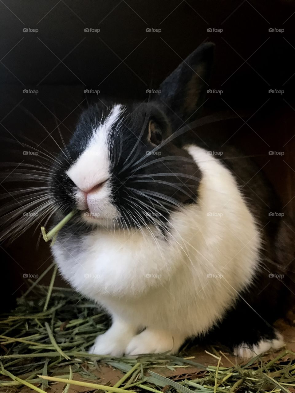 Rabbit eating Timothy hay