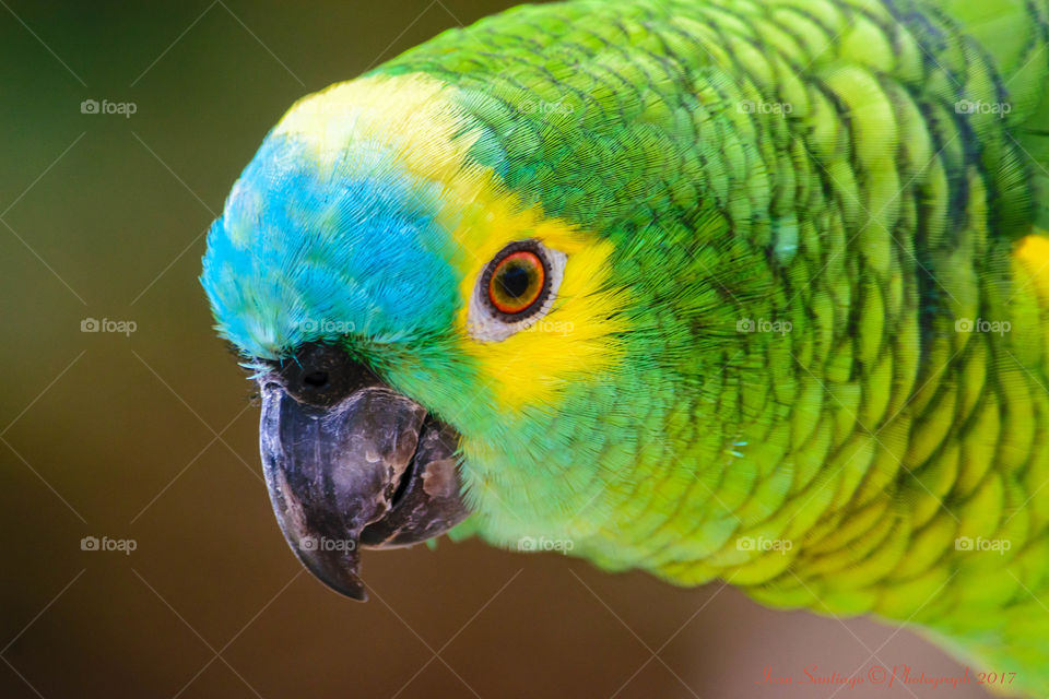 Close-up of Turquoise-fronted amazon Bird
