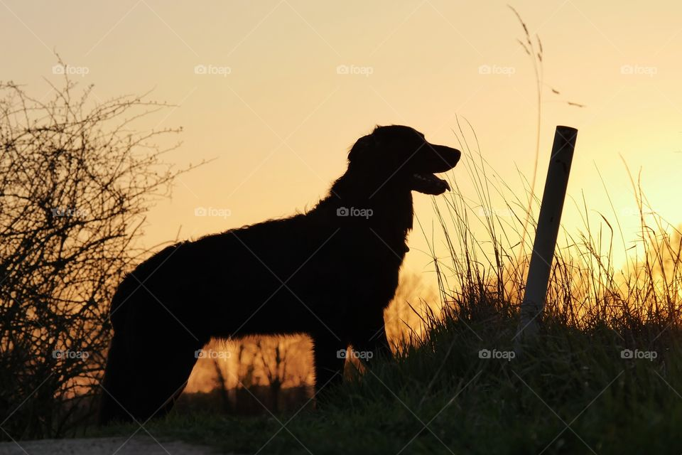 Sunset silhouette of my dog