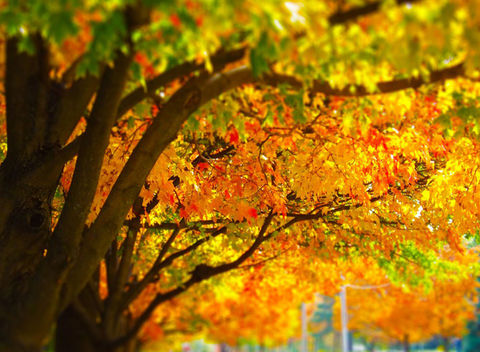 Trees With Colorful Autumn, Fall Leaves. I took this photo in Kansas City and added vibrancy and a tilt shift effect.