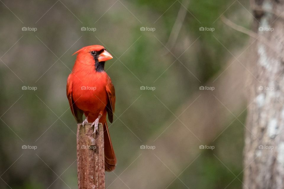 a proud male Cardinal posing on a fence post showing of his stunning red color