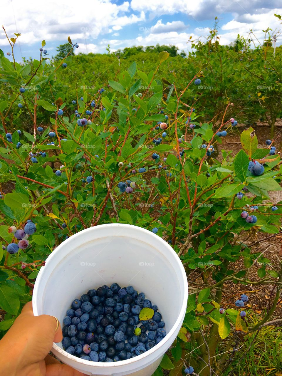 Person collecting blueberries in container