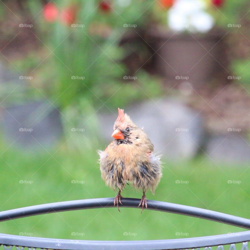 Ruffled feathers. Female Cardinal sitting on patio after ruffling feathers
