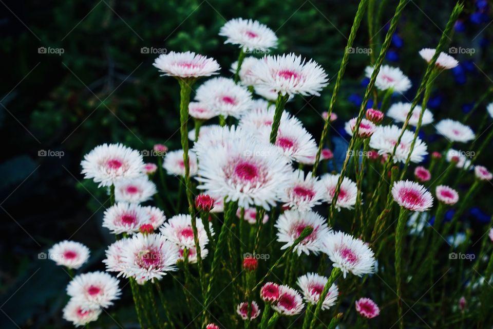Western Australia daisy called Albany daisy.