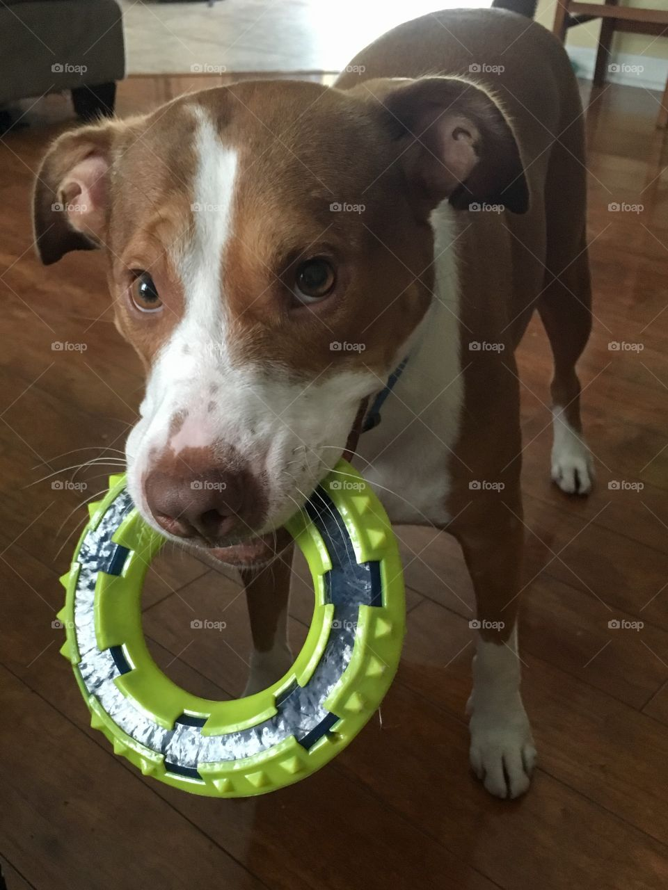 Adorable rescue red nose pitbull wants to play with sad eyes