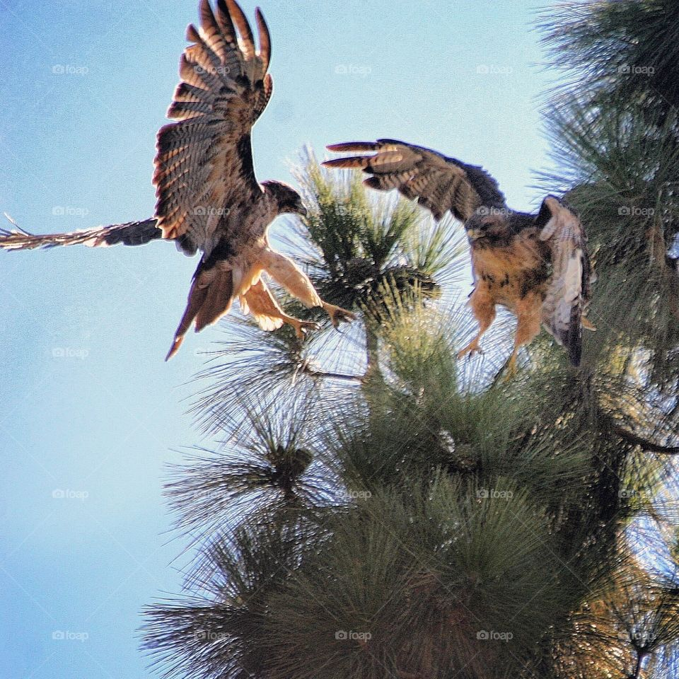 Two Red Tailed Hawks on a tree top