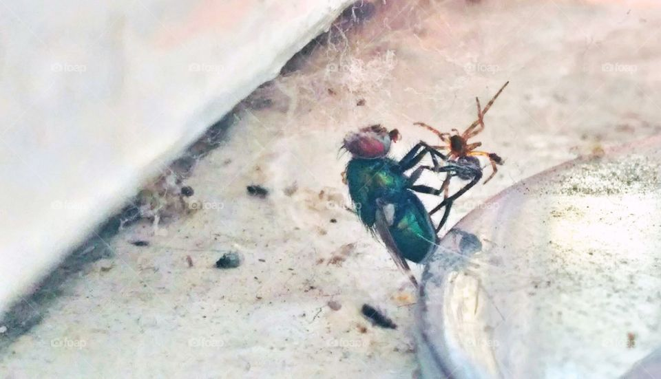 housefly & spider