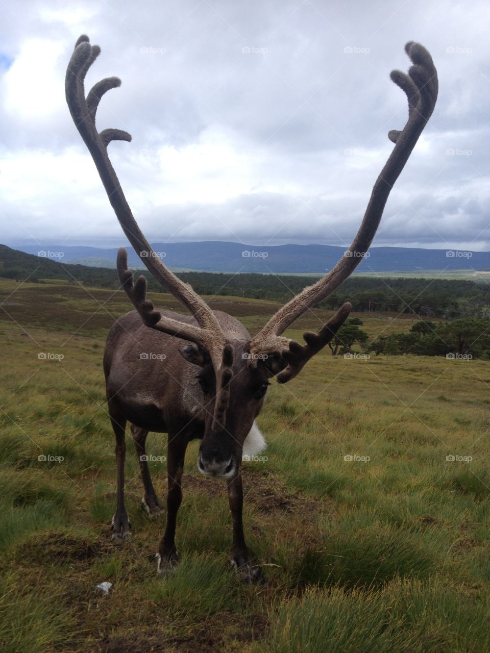Reindeer standing on grassy field at hill