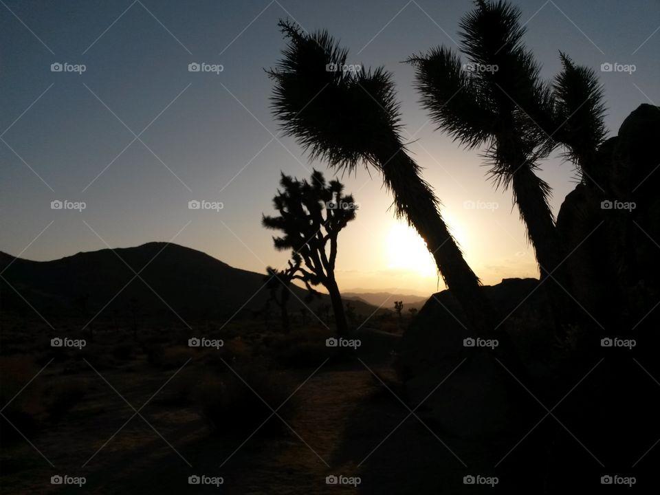 sunset joshua trees