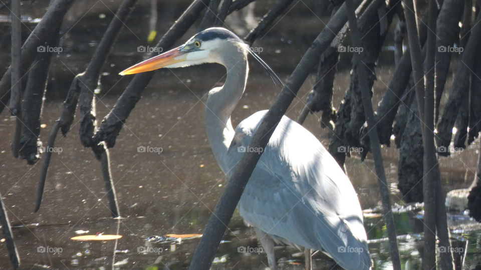 great blue heron hiding in the mangroves at Snook Creek Park Wilton Manors, Florida