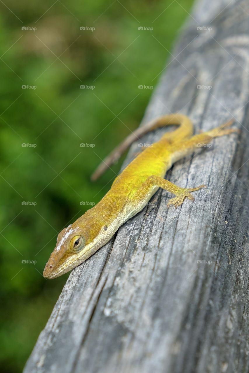 A Carolina anole, also called a green anole, rests on a wooden rail while sporting its golden color shade at Yates Mill County Park in Raleigh North Carolina.