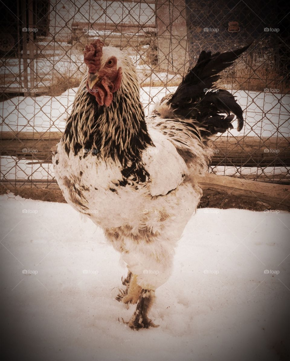Colorful Rooster. Handsome black and white rooster in wintertime barnyard