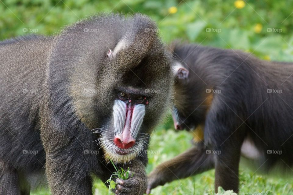 Couple de mandrills