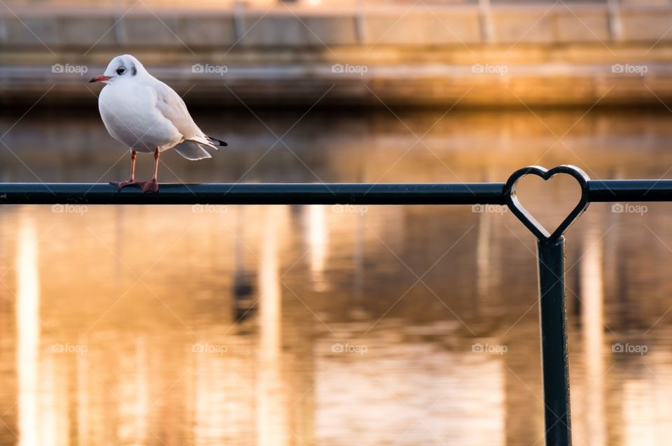 White seagull near lake   bird, perching, reflection, heart