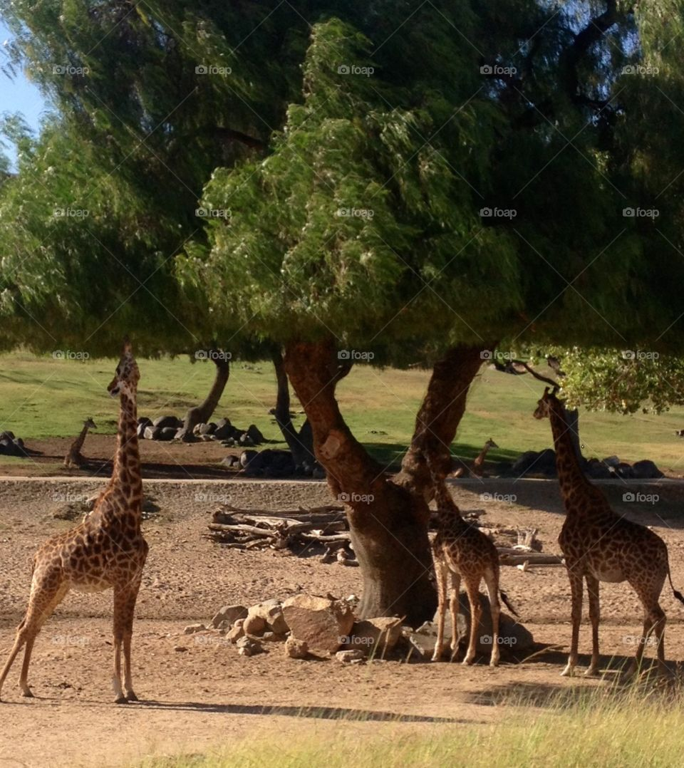 Wild life park. Giraffes