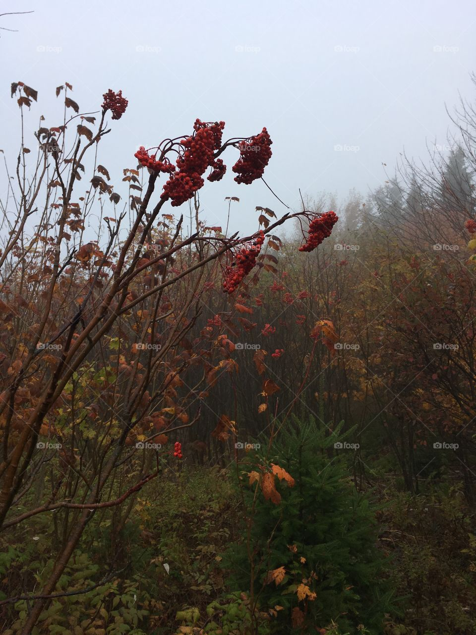 Fall foliage in the woods on a foggy morning.