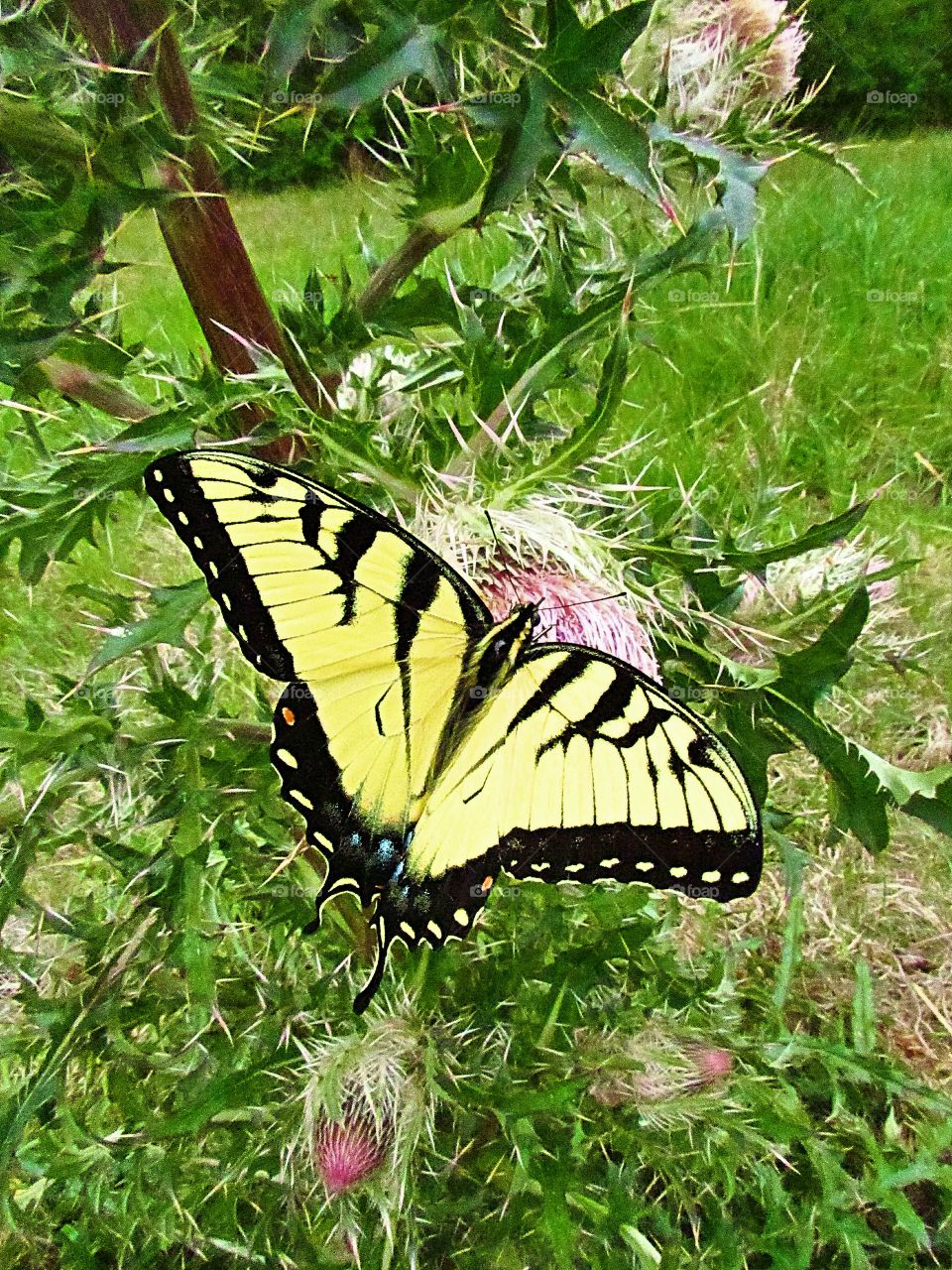 yellow swallowtail butterfly on thistle flower