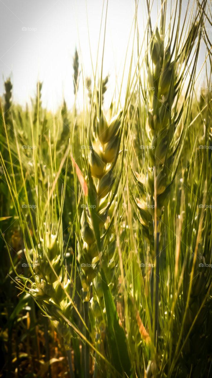 wheat  in farm  winter time in my village