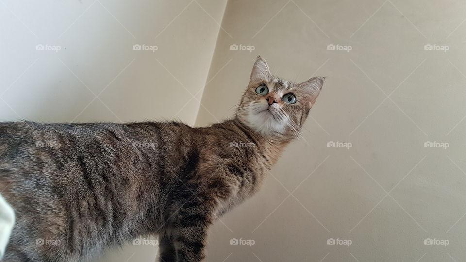 cat standing in alert position