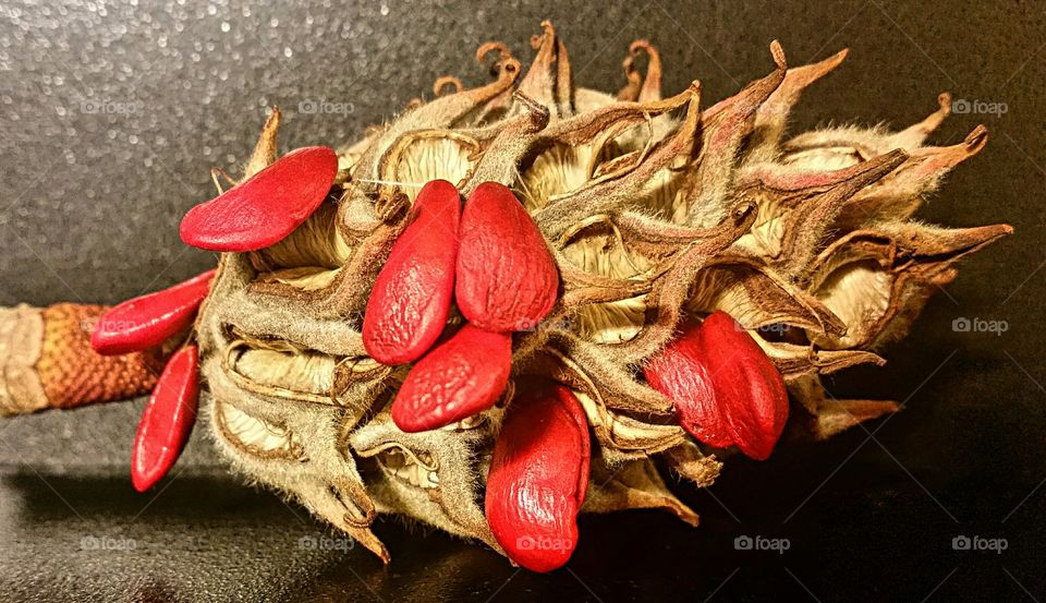 """Bright Red Seeds in a """"Curly Cued"""" seed pod!"""