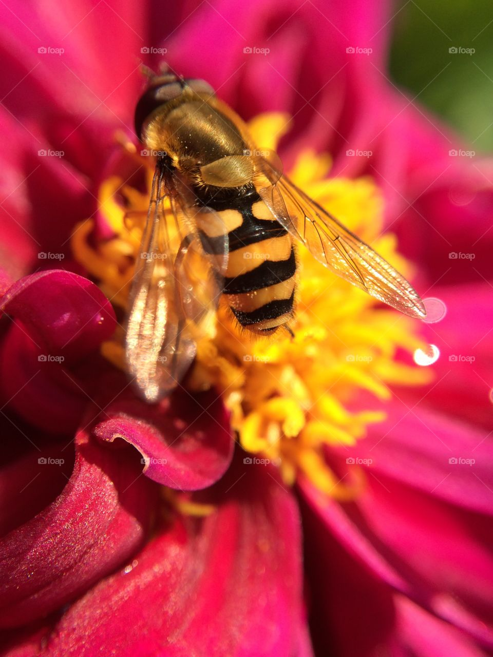 Last Glimpse of Summer. I received this Dahlia as a gift and took a photo as a wasp/hornet decided to gather some late pollen ...