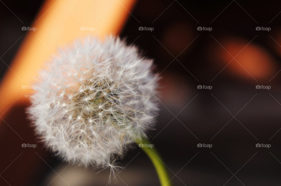 herbs dandelion flower white by elia.malmsten