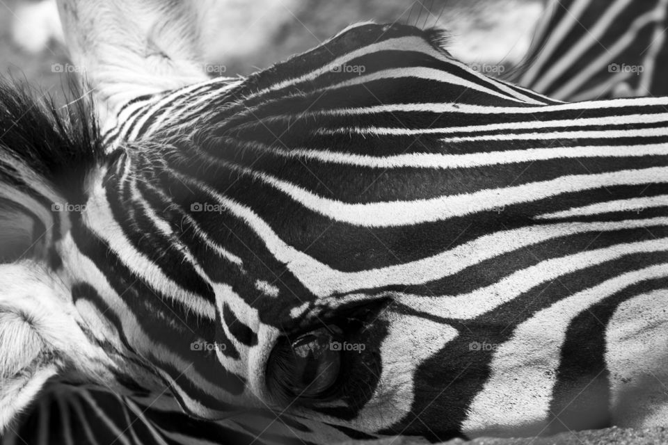This is from a recent trip to the Puerto Vallarta Zoo. We were so close to the animals through out our walk that I never had to switch out my 50mm lens. The zebras were lovely.