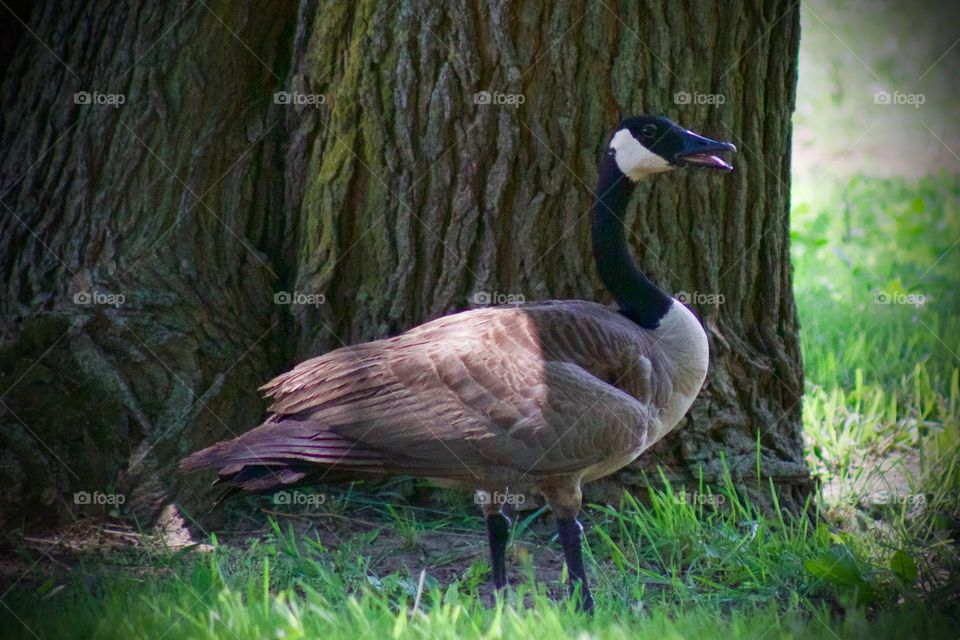A Canadian goose in the shade of a large tree enjoying the breeze