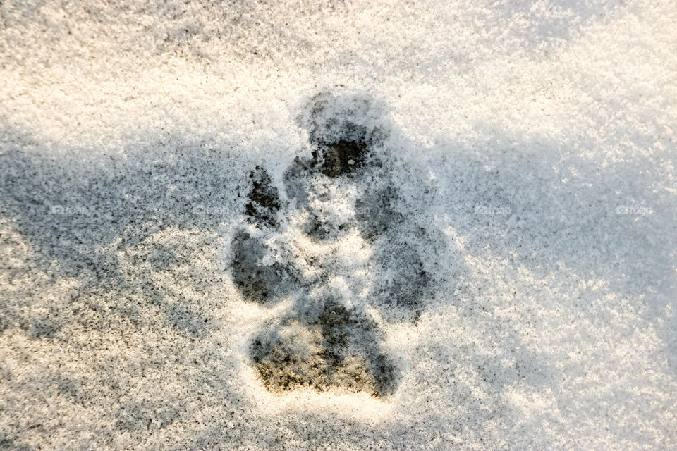 Paw print in the Snow