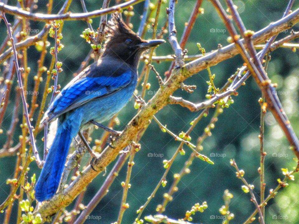 Brilliant Blue Steller's Jay. Songbird In Morning Sunlight
